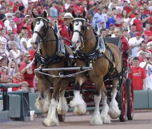 2014-11-24_1431 Budweiser Cyldesdales